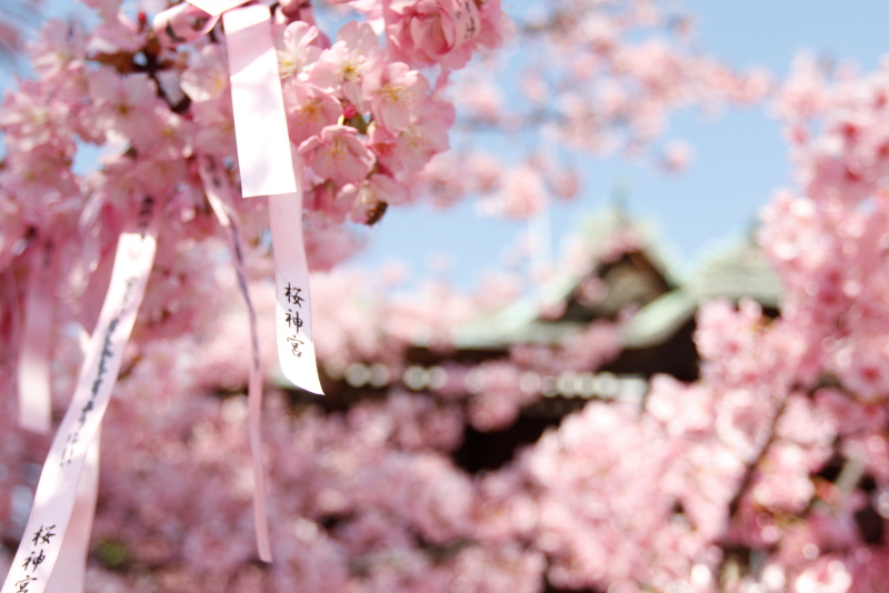 桜神宮013